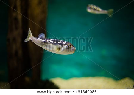 close up of a puffer fish swimming in the ocean
