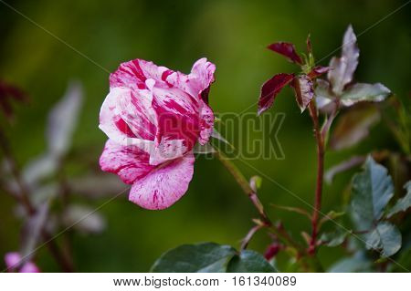 pink brindle rose flower on the bush
