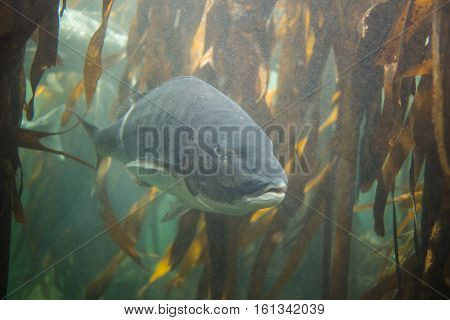 White Steenbras underwater in the ocean on the West Coast of south africa inbetween a kelp forest