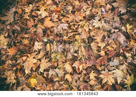 Dried maple leaves full background