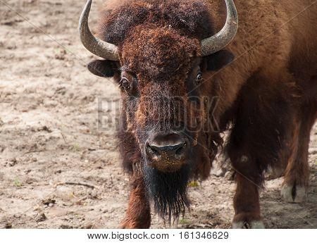 Great American Bison looking forward himself close up