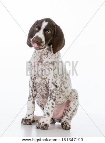 german shorthair pointer puppy on white background