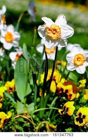 White yellow narcissus and heartseases in flowerbed with selected focus.