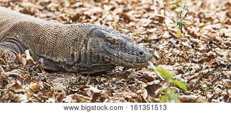 Komodo dragon in Komodo island in Indonesia