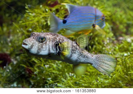 White-spotted puffer (Arothron hispidus). Marine fish.