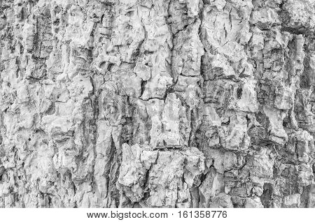 Closeup surface wood pattern at old cracked skin of trunk of tree textured background in black and white tone