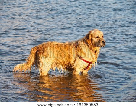 Golden retrieverr dog standing in the waters of the Mawddach estuary at Ynyslas near Borth Wales waiting for instructions to fetch a stick.