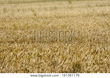 Yellow wheat (triticum) field ready to harvest