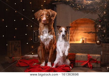 Dog Jack Russell Terrier And Dog Nova Scotia Duck Tolling Retriever . Happy New Year, Christmas