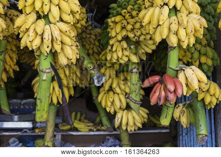 Red yellow and green bananas hanging for sale at a market Kandy Sri Lanka