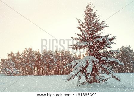 Winter landscape - fir winter tree covered with snow in the winter forest under falling winter snow in cold weather. Winter forest scene with falling winter  snowflakes. Vintage tones applied
