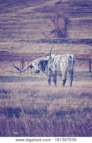 Vintage Toned Texas Longhorn Grazing In A Dry Autumn Pasture