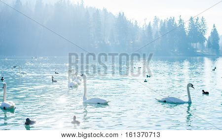 beautiful calm winter foggy lake with many swans