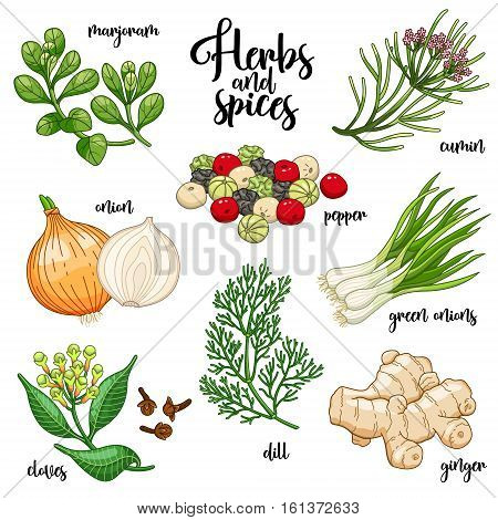 Spices and herbs vector set to prepare delicious and healthy food. Colored botanical illustration on white background with marjoram, onion, cloves, pepper, cumin, ginger, green onions, dill.