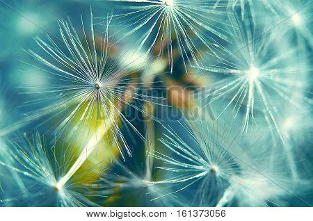 Thin seed dandelion flower in macro shot