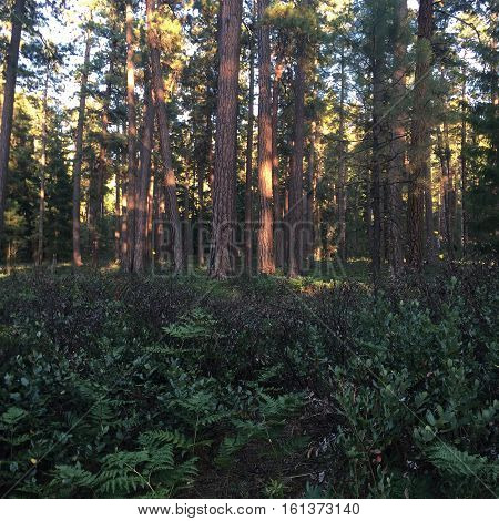 The evening light on tall ponderosa trees near Wizard Falls in Central Oregon on a summer day.