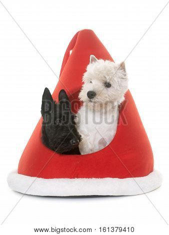 two puppies terrier in kennel in front of white background