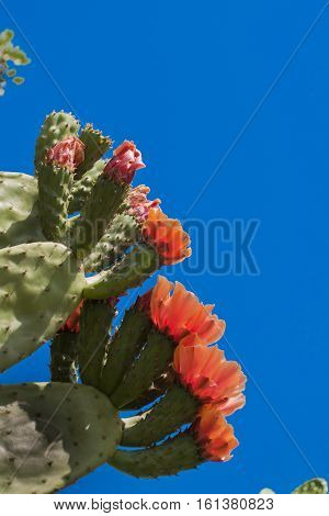 Prickly pear plant under the blue sky
