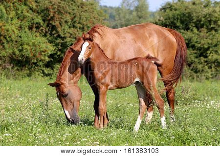 Beautiful mother horse with her foal nearby grazed on pasture summertime