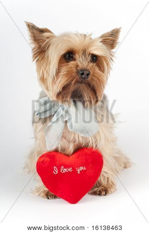Cute Yorkshire terrier with