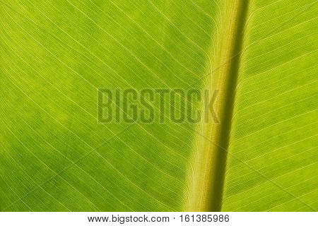 Green banana leaf background backlit texture macro detail central stalk leaf-ribs
