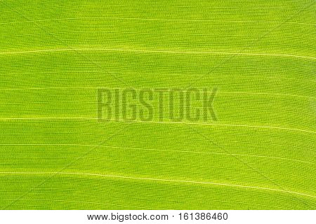 Green banana leaf background backlit texture macro detail, stalk leaf-ribs vein