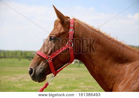 Side view head shot of a young thoroughbred anglo-arabian stallion on summer pasture rural scene