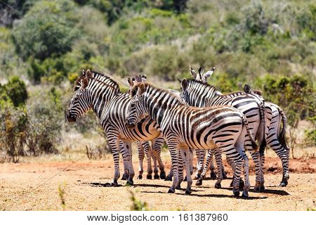 Burchell's Zebras Grouping Together