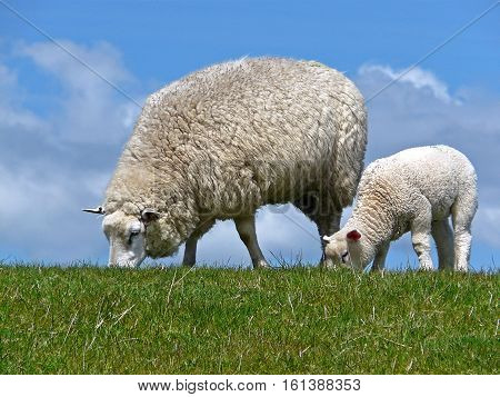 Ewe and lamb graze on a dyke at the North sea coast