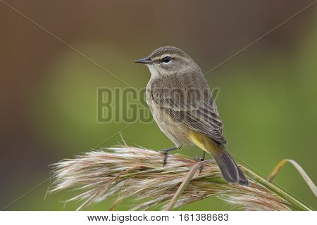 Palm Warbler In Fall Plumage - Florida