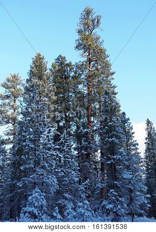 Snow covered ponderosa pines near Camp Sherman on a winter day receive morning sun.