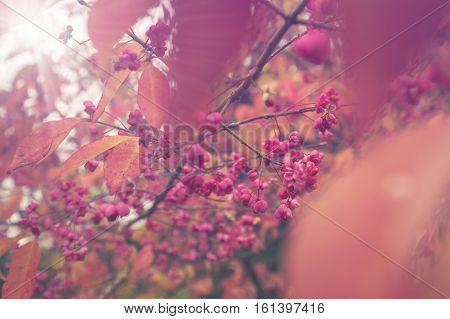 Bright Pink Capsules of Fruiting Spindle Tree
