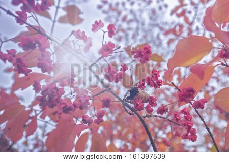 Pink Spindle Tree Fruits Against Bright Sky Background