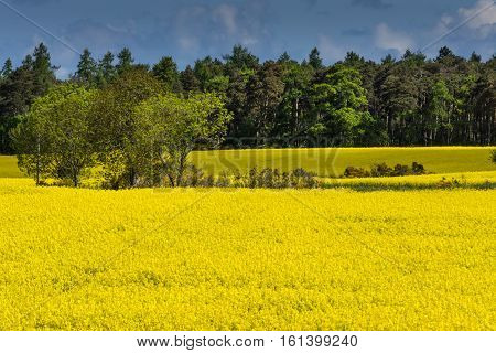 Inverness Scotland - June 2 2012: Field colors bright yellow with crop of rapeseed. Backdrop of green forest trees and blue cloudy sky. Halfway the field a handful more trees. Yellow fills more than half of photo.