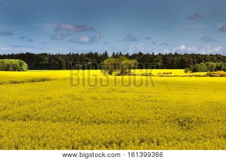 Inverness Scotland - June 2 2012: Field colors bright yellow with crop of rapeseed in bloom. Backdrop of green forest trees and blue cloudy sky. Halfway the field a handful more trees. Yellow fills more than half of photo.