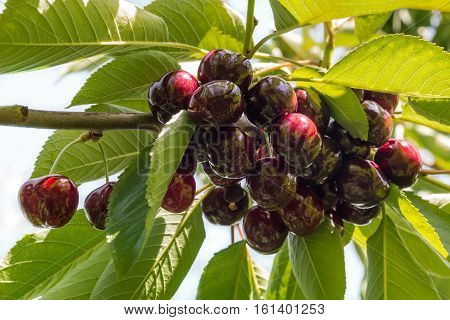 bunch of dark red cherries on cherry tree
