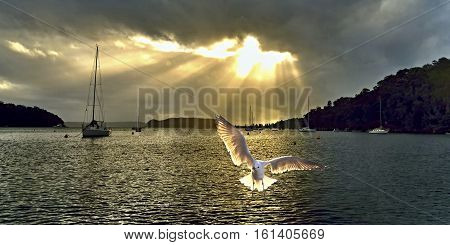 Bright crepuscular sunrise over water with a Silver Gull in the foreground. Photographed at Coasters Retreat ( AKA The Basin) Pittwater NSW
