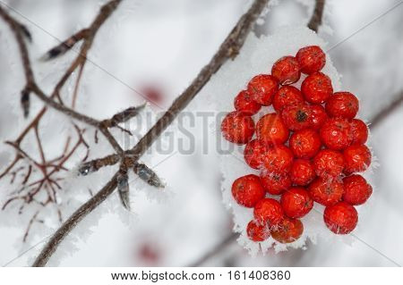 Close up of clump of snow covered orange mountain ash berries on a branch that is angled through the photo. Individual snowflakes line the branch. Gray sky is in the background. Shallow depth of field.
