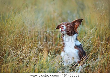 Beautiful chocolate border collie pup frolics in the tall grass on a background of an autumn field. Portrait of a young dog
