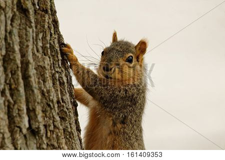 A Fox Squirrel clings to a tree. These rambunctious squirrels can be found throughout Iowa climbing trees and raiding bird feeders.