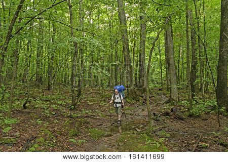 Trekking Through a Verdant Forest in the Porcupine Mountains in MIchigan