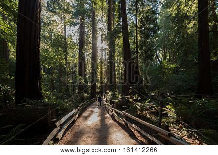 Visitors stroll down the path among the enormous redwood trees at Muir National Monument