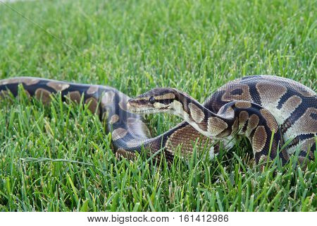 Ball Python moving in the green grass