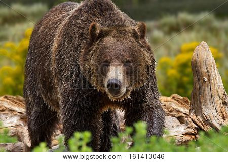 Large grizzly bear in Yellowstone National Park United States