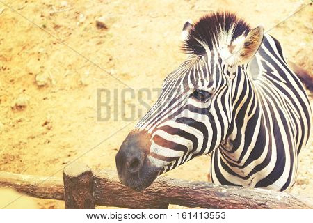 Close up of zebra in safari at chiang mai zoo.
