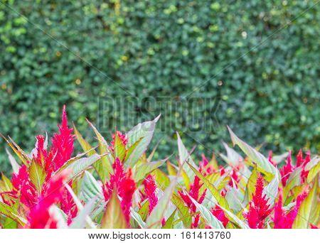 red celosia flower green leaf on green plant blur background.