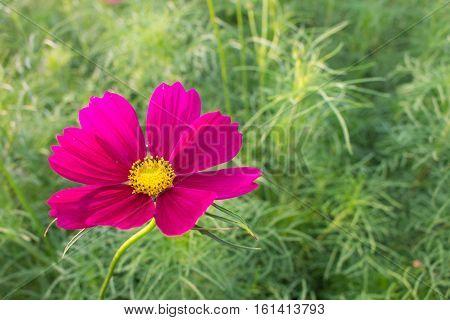 blur blooming purple cosmos flower on cosmos flower garden blur background.