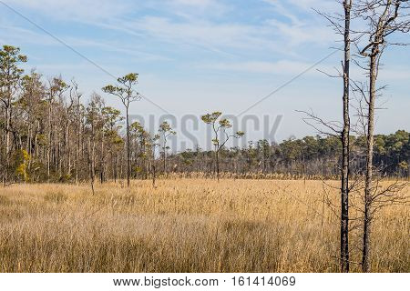 Brown swamp grass and forest in winter at Mackay Island National Wildlife Refuge located on Knotts Island in North Carolina.