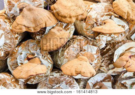 Ling Zhi mushroom farming in dark room.