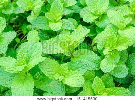 Fresh mints growing in the vegetable garden